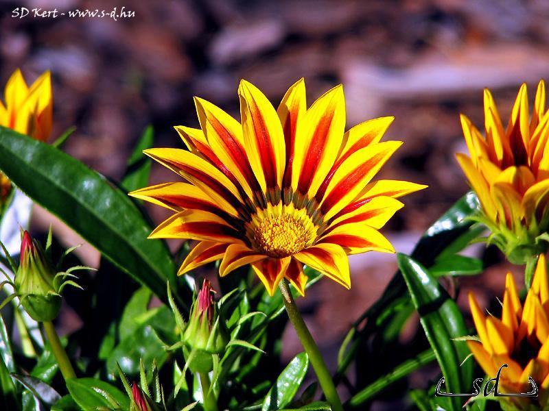 Kerti virág