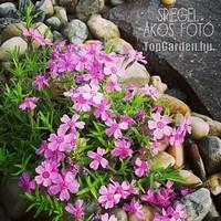Tavaszi növények
